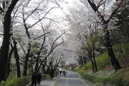 서울 벚꽃 이번 주말 절정… 남산에서 봄바람 맞으며 벚꽃 즐겨볼까